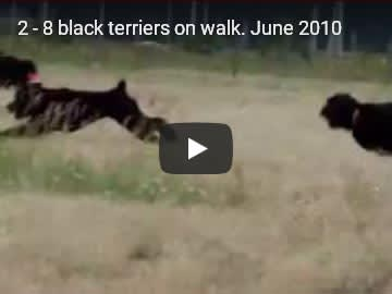 Eight Black Terriers Sokrovische Rusi in free-range, video 2