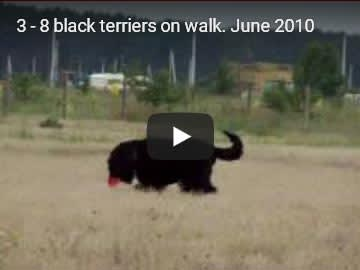 Eight Black Terriers Sokrovische Rusi in free-range, video 3