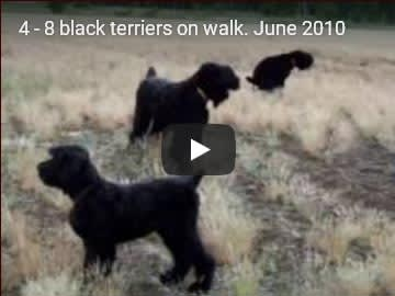 Eight Black Terriers Sokrovische Rusi in free-range, video 4