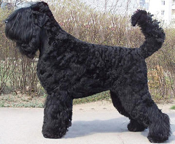 Black Russian Terrier. Kennel SOKROVISCHE RUSI. Agent 007 Chiornyy Prints