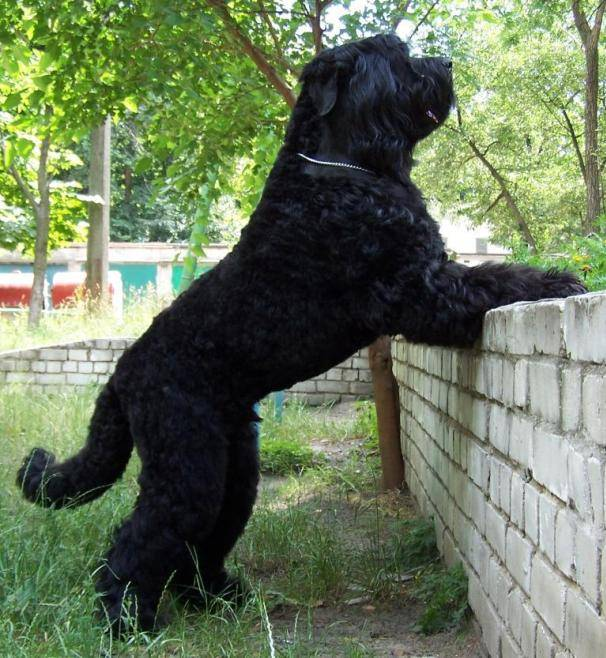 Black Russian Terrier. Kennel Sokrovische Rusi. Agent 007
