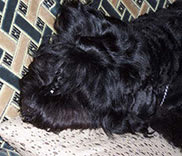 Black Russian Terrier. Kennel Sokrovische Rusi. Photos