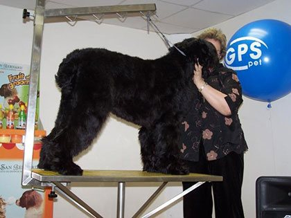 Master Class. Haircut of Black Russian Terrier - photo 2