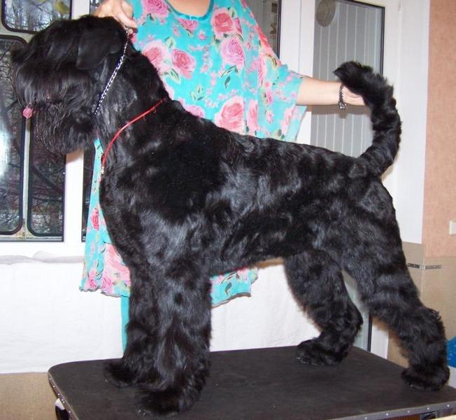 Black Russian Terrier. Kennel SOKROVISCHE RUSI. Gordeliya Ter`Avalon