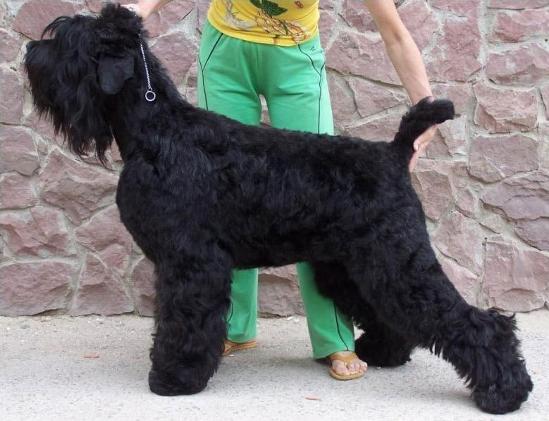 Black Russian Terrier. Kennel SOKROVISCHE RUSI. Diana Best Carpatian Black Perl