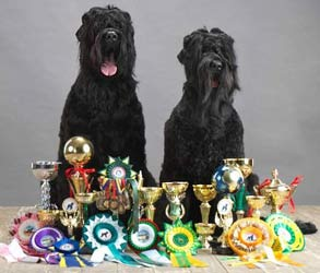 Black Russian Terrier Kennel Sokrovische Rusi Exhibitions