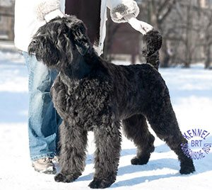 Black Russian Terrier. Kennel Sokrovische Rusi. Frederika Sokrovische Rusi photo 10