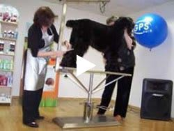 Haircut Black Russian Terrier - video, part 1. Kennel Sokrovische Rusi
