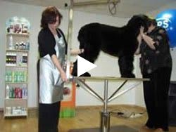 Haircut Black Russian Terrier - video, part 2. Kennel Sokrovische Rusi