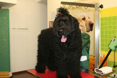 Haircut Black Russian Terrier, Marco Vaccaroni - photo 4.1