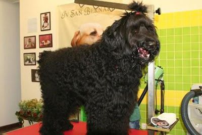 Haircut Black Russian Terrier, Marco Vaccaroni - photo 4.2
