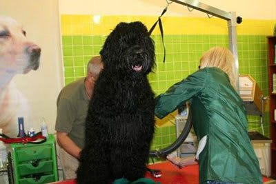 Haircut Black Russian Terrier, Marco Vaccaroni - photo 4.3