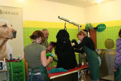 Haircut Black Russian Terrier, Marco Vaccaroni - photo 4.4