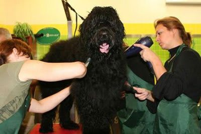 Haircut Black Russian Terrier, Marco Vaccaroni - photo 4.5