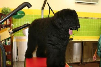 Haircut Black Russian Terrier, Marco Vaccaroni - photo 4.6