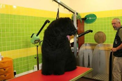 Haircut Black Russian Terrier, Marco Vaccaroni - photo 4.8