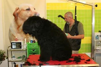 Haircut Black Russian Terrier, Marco Vaccaroni - photo 4.10