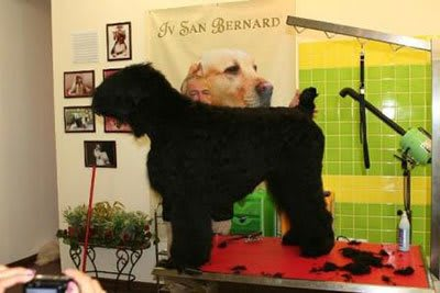 Haircut Black Russian Terrier, Marco Vaccaroni - photo 4.11