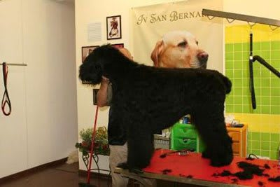 Haircut Black Russian Terrier, Marco Vaccaroni - photo 4.12
