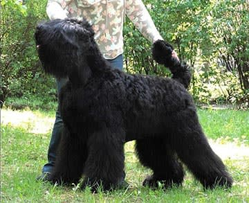 Black Russian Terrier. Kennel SOKROVISCHE RUSI. Hugo Boss Sokrovische Rusi