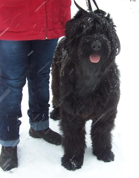 Black Russian Terrier. Kennel Sokrovische Rusi. Intriga Sokrovische Rusi