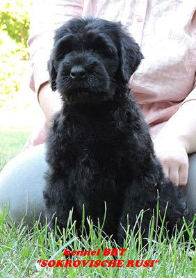BRT puppy (Zordan Black x Feja Nochi) - photo 6