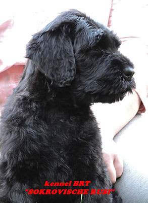 BRT puppy (Zordan Black x Feja Nochi) - photo 3