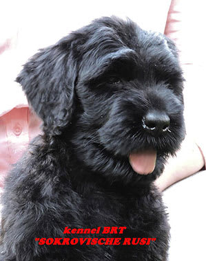 BRT puppy (Zordan Black x Feja Nochi) - photo 10