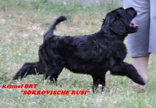 BRT puppy (Zordan Black x Feja Nochi) - photo 7