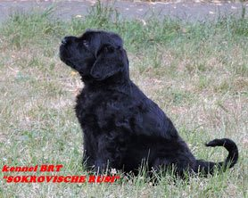 BRT puppy (Zordan Black x Feja Nochi) - photo 9