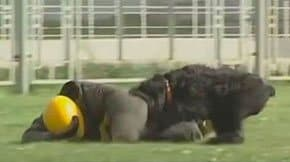Black Russian Terrier - training