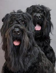 Our Black Russian Terriers