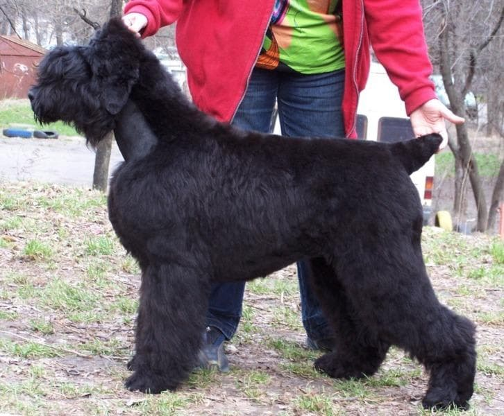 Black Russian Terrier. Kennel SOKROVISCHE RUSI. Ol Grand Sokrovische Rusi