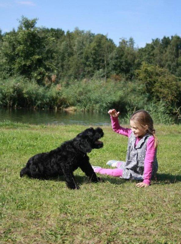 Black Russian Terrier. Kennel Sokrovische Rusi. Orion Sokrovische Rusi