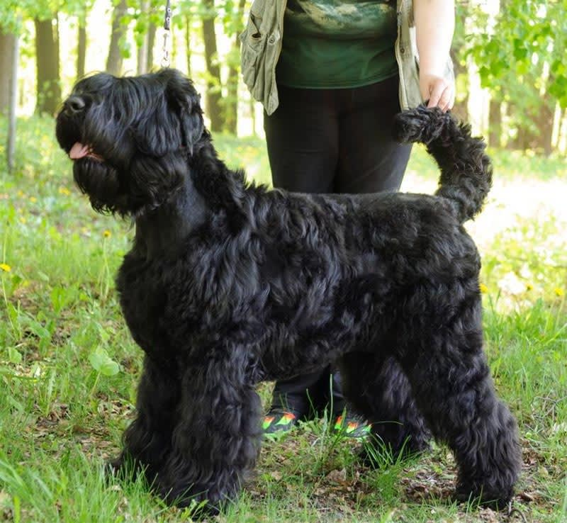 Black Russian Terrier. Kennel SOKROVISCHE RUSI. Tea Sokrovische Rusi
