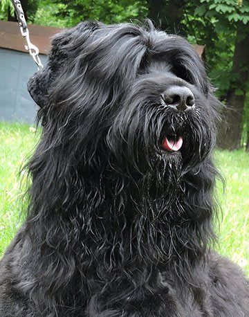 Black Russian Terrier - Zordan Black