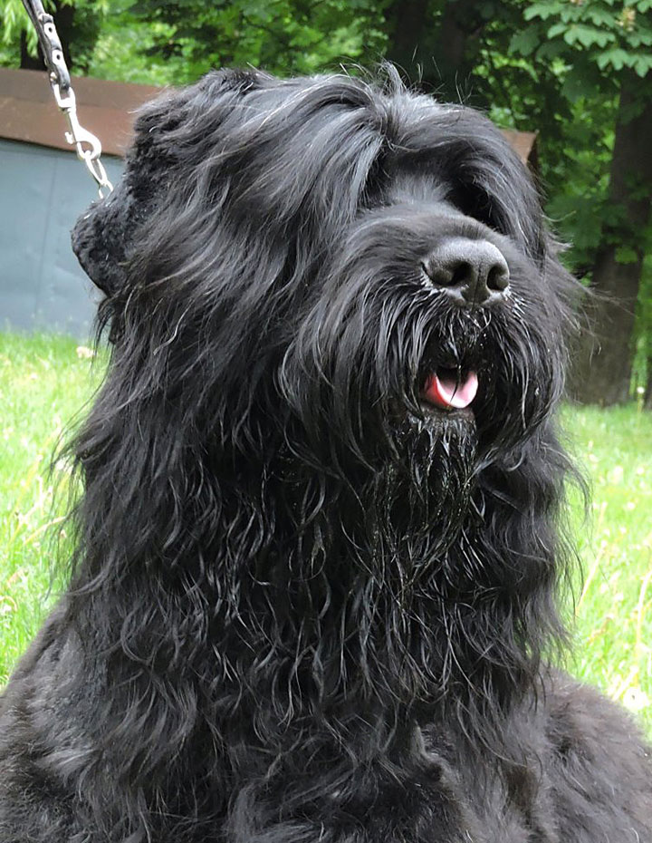 Black Russian Terrier. Kennel Sokrovische Rusi. Zordan Black